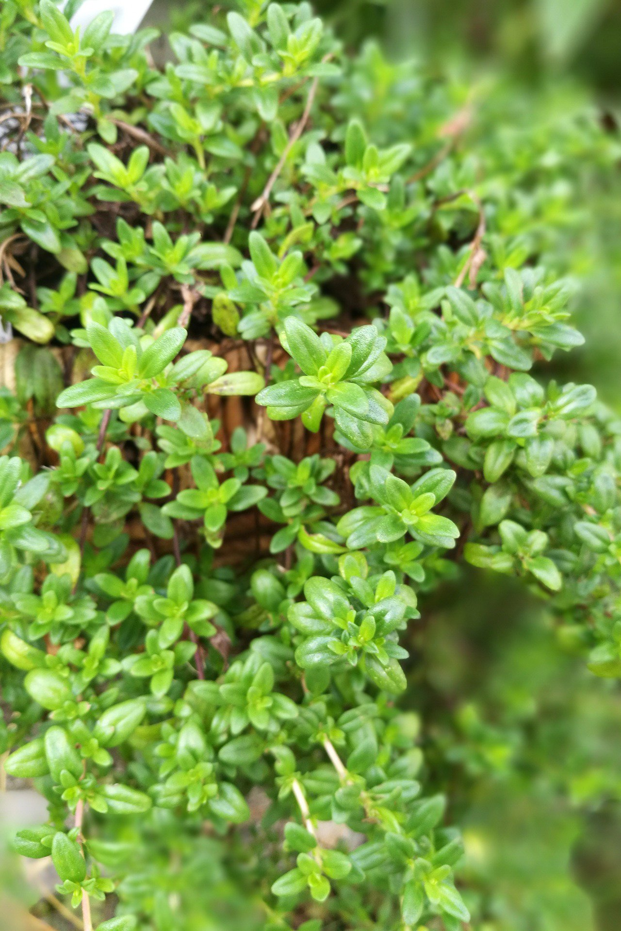 Thyme photo from pixabay.com